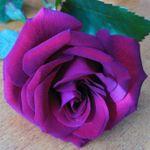 Roseybud333