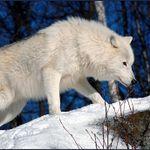 walkingwolf